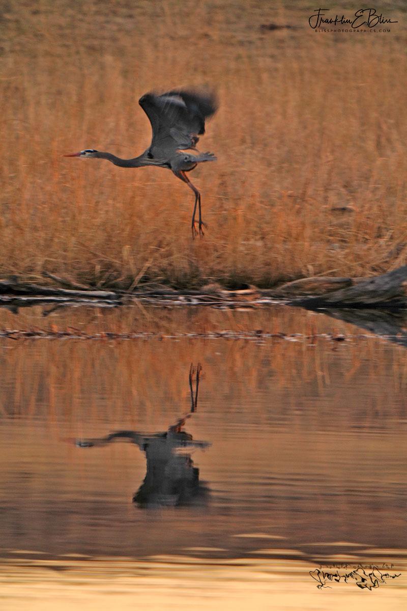 Blue Heron Launch Paddy