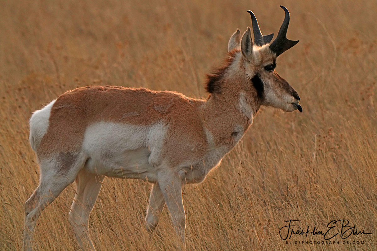 Pronghorn Razzing the Photographer