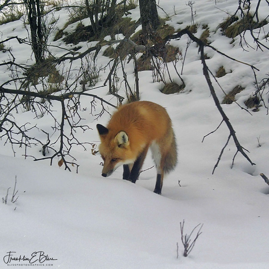 Red Fox White Snow