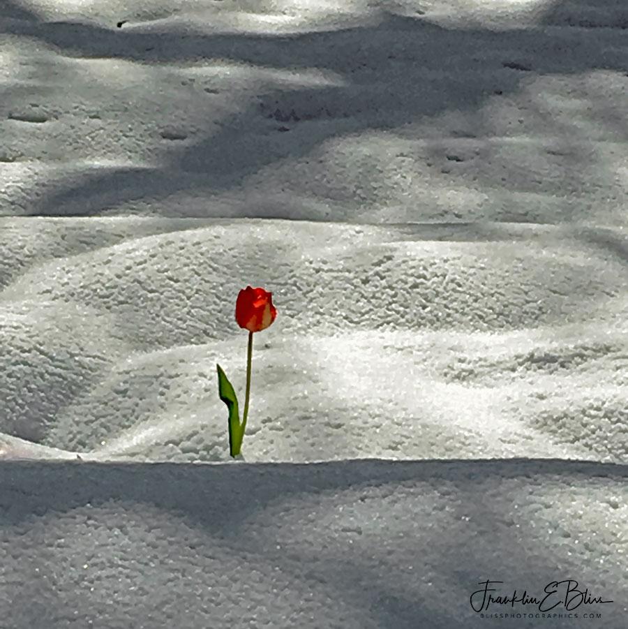 Lone Tulip Battling Spring