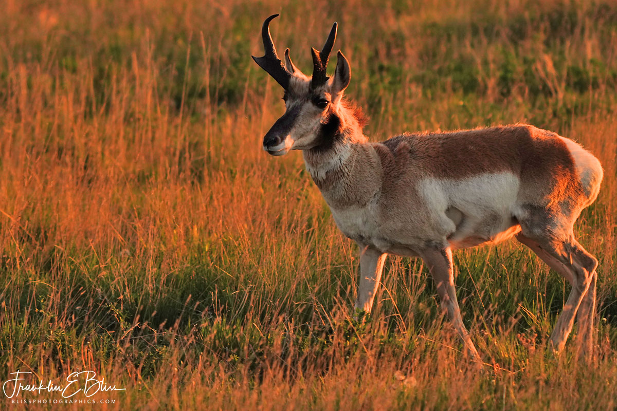 Pronghorn Buck Tending to Business