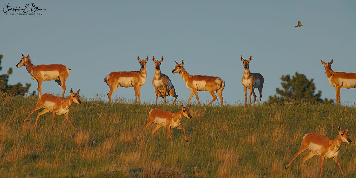 Multiple Exposure Pronghorn Moments