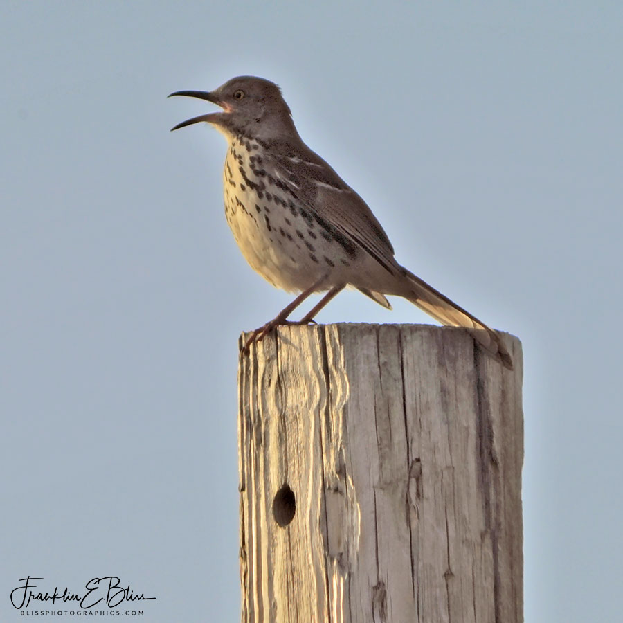 Brown Thrasher on Weathered Post