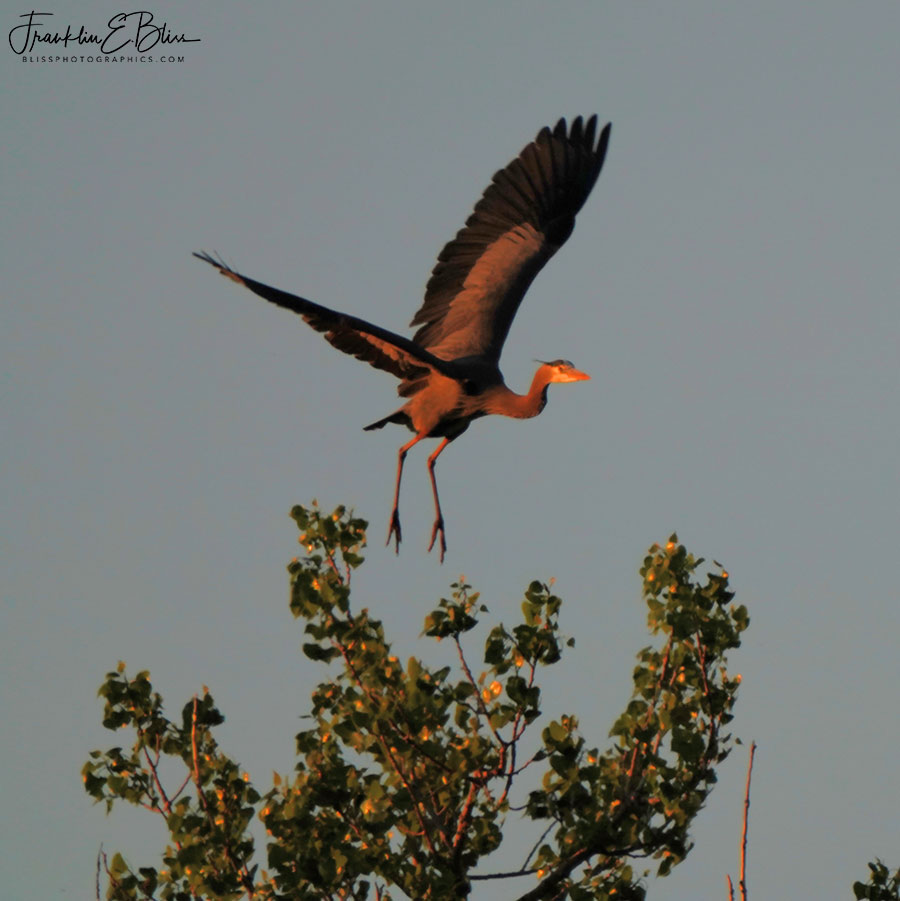Blue Heron Launch