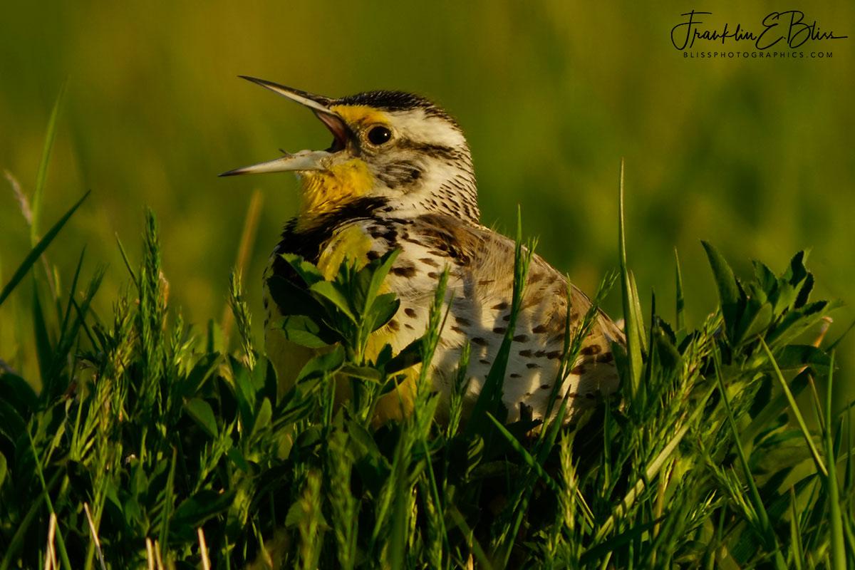Meadowlark Singing in the Grass