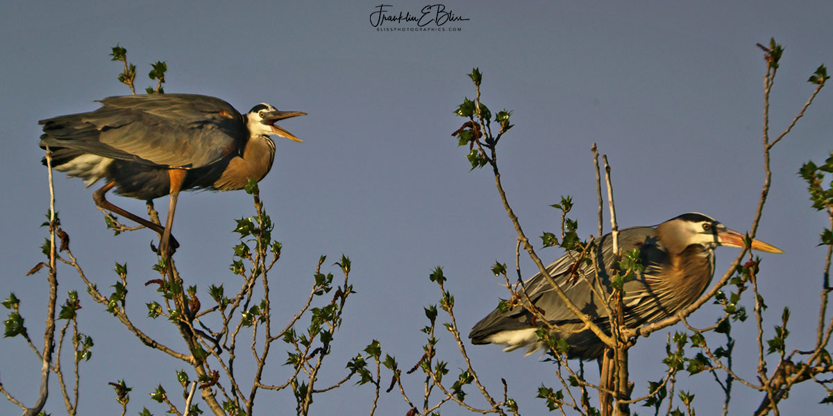 Happy Herons Pair Diptych