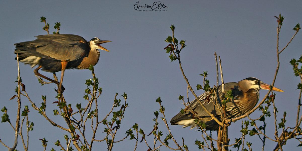 Happy Herons Pair Diptych