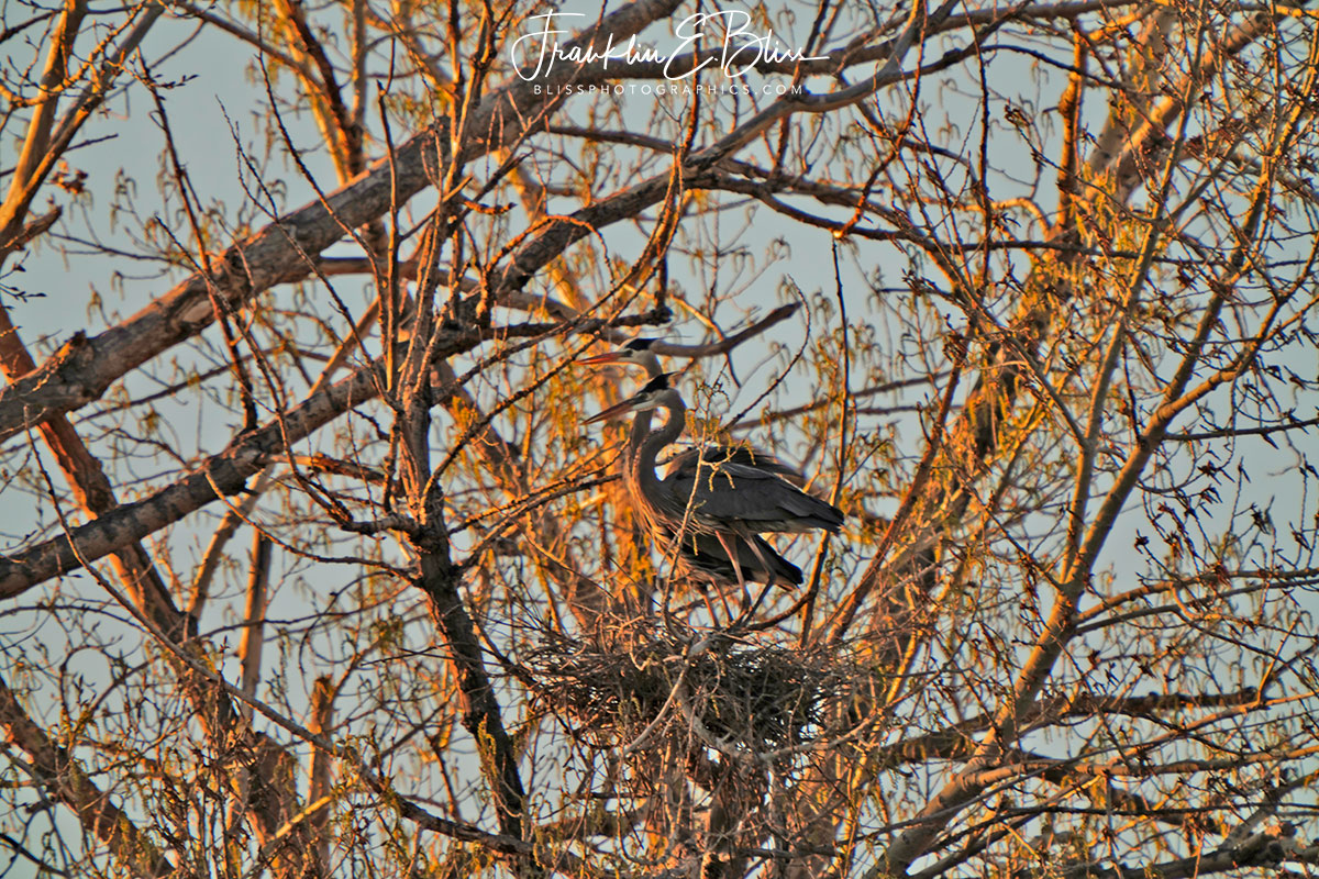 Heron Mated Pair Nested