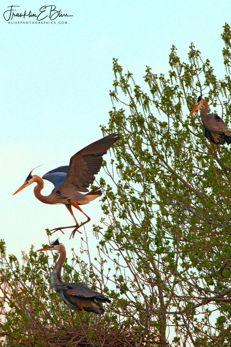 Heron High Jinx Landing