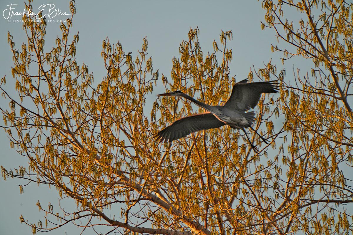 Great Blue Heron Wingspan