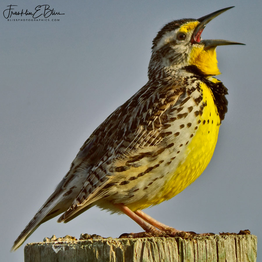 Morning Meadowlark Making Song