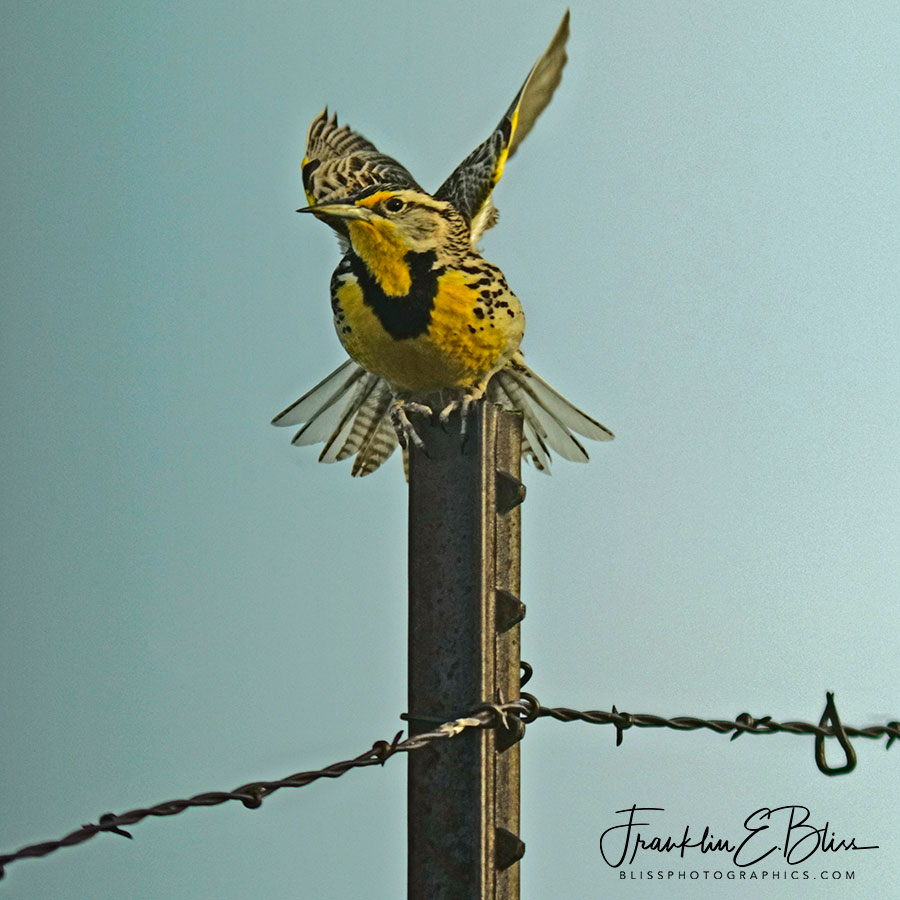 Meadowlark Posing for the Camera