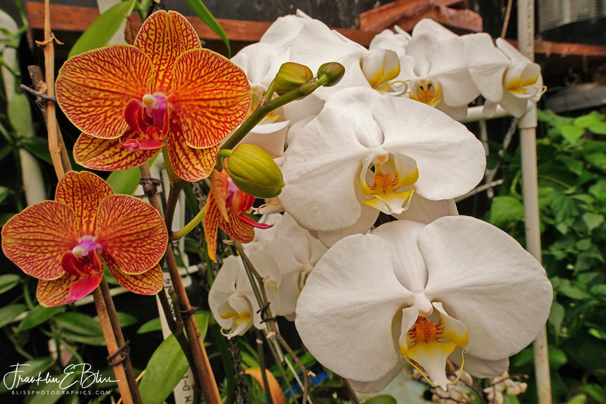 Aquaponic Walipini Grown Orchids