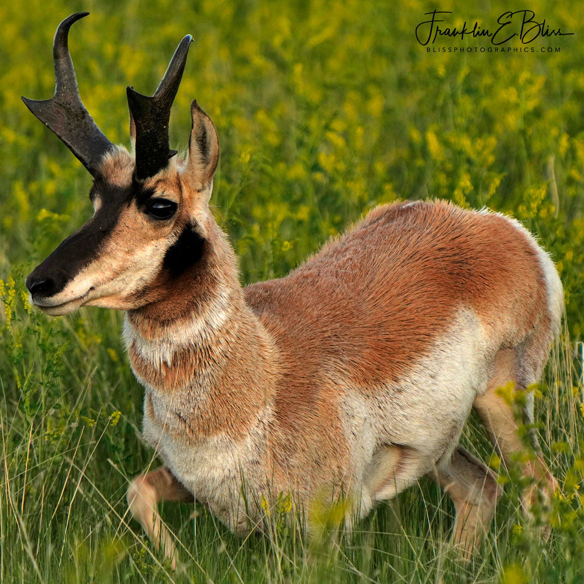 Pronghorn Buck Laying Down