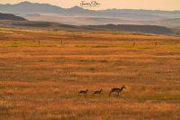 Pronghorn Paradise on the Prairie 062720G