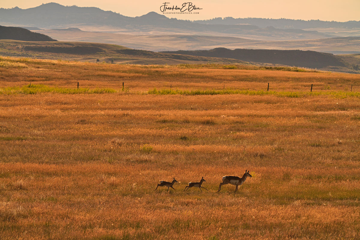 Pronghorn Paradise on the Prairie