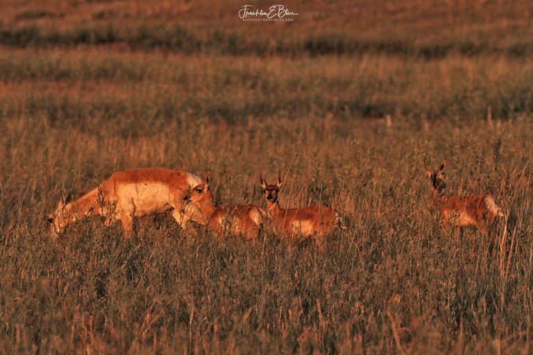 Pronghorn Doe with Triplets 062320C