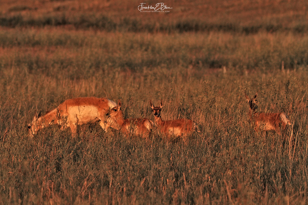 Pronghorn Doe with Triplets