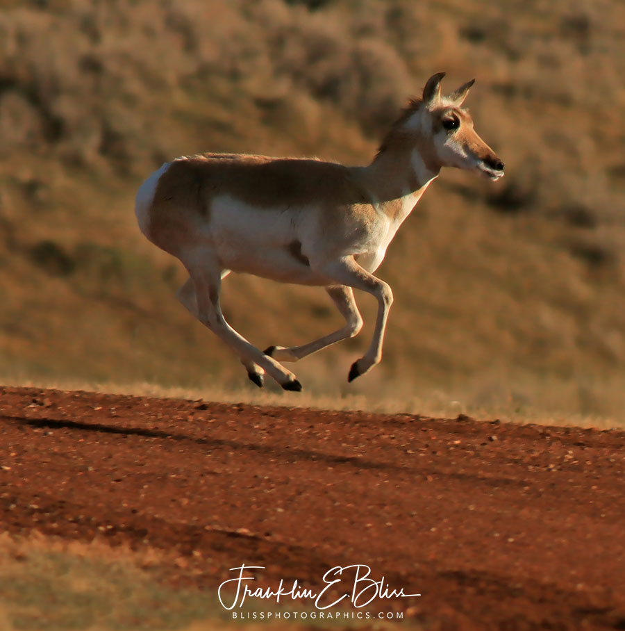 Proof Pronghorn Levitate