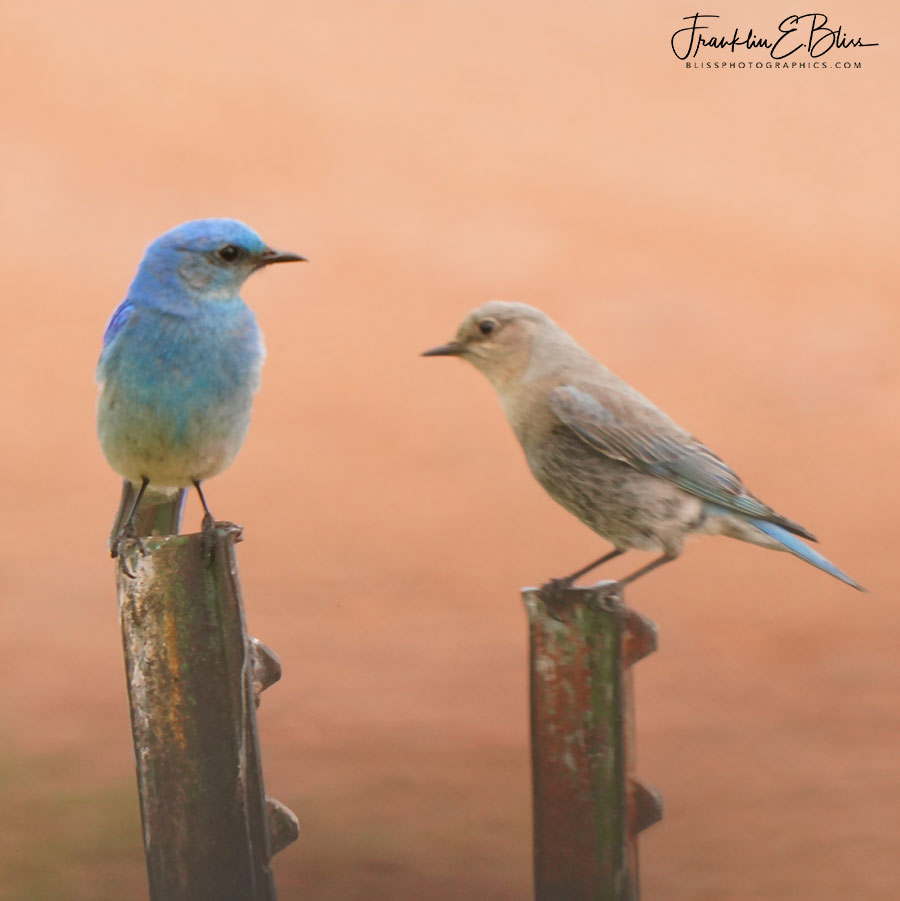Blue Bird Mated Pair