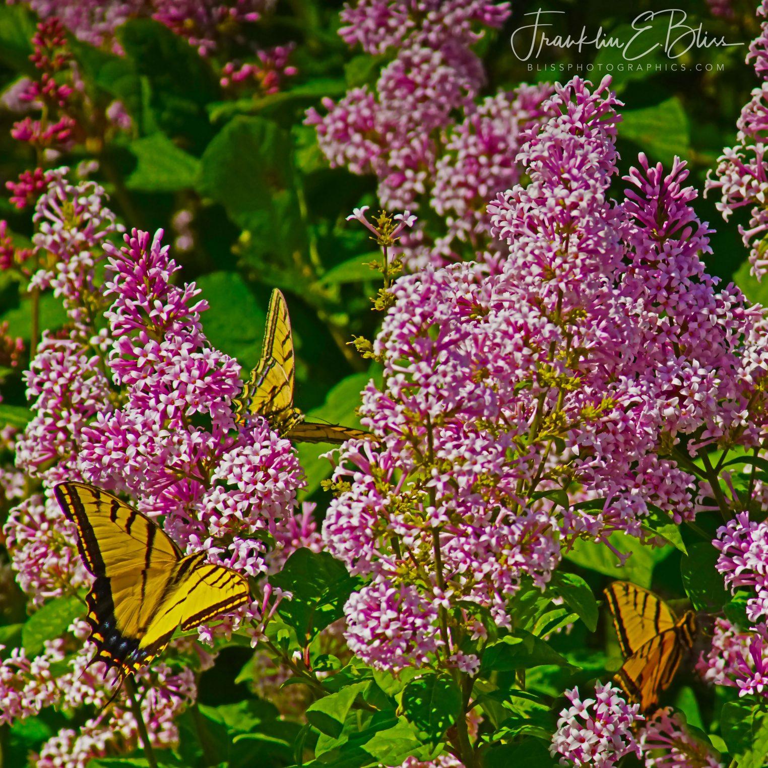 Yellow Swallowtail Lilac Buffet