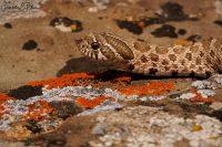 Hog Nose Snake on Lichen 062720D