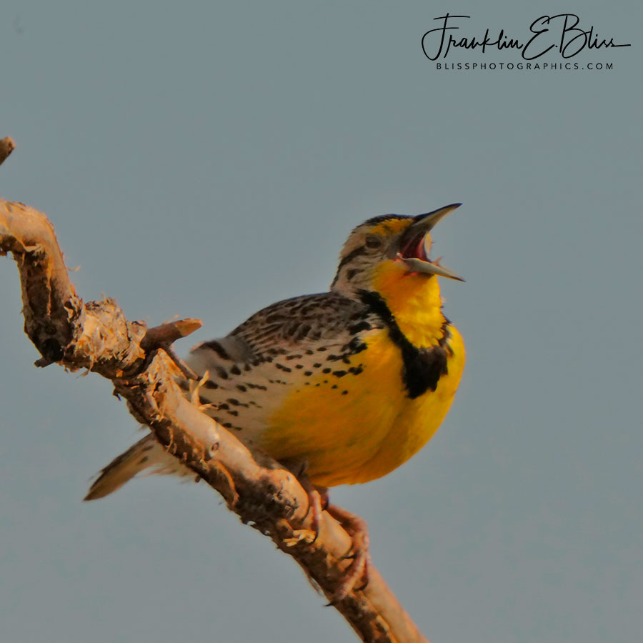 From the DIaphram Meadowlark