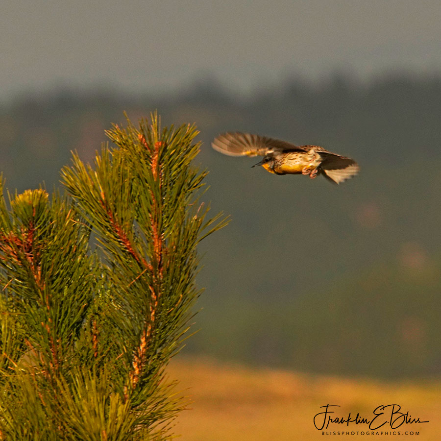 Meadowlark Landing on Pine Bough