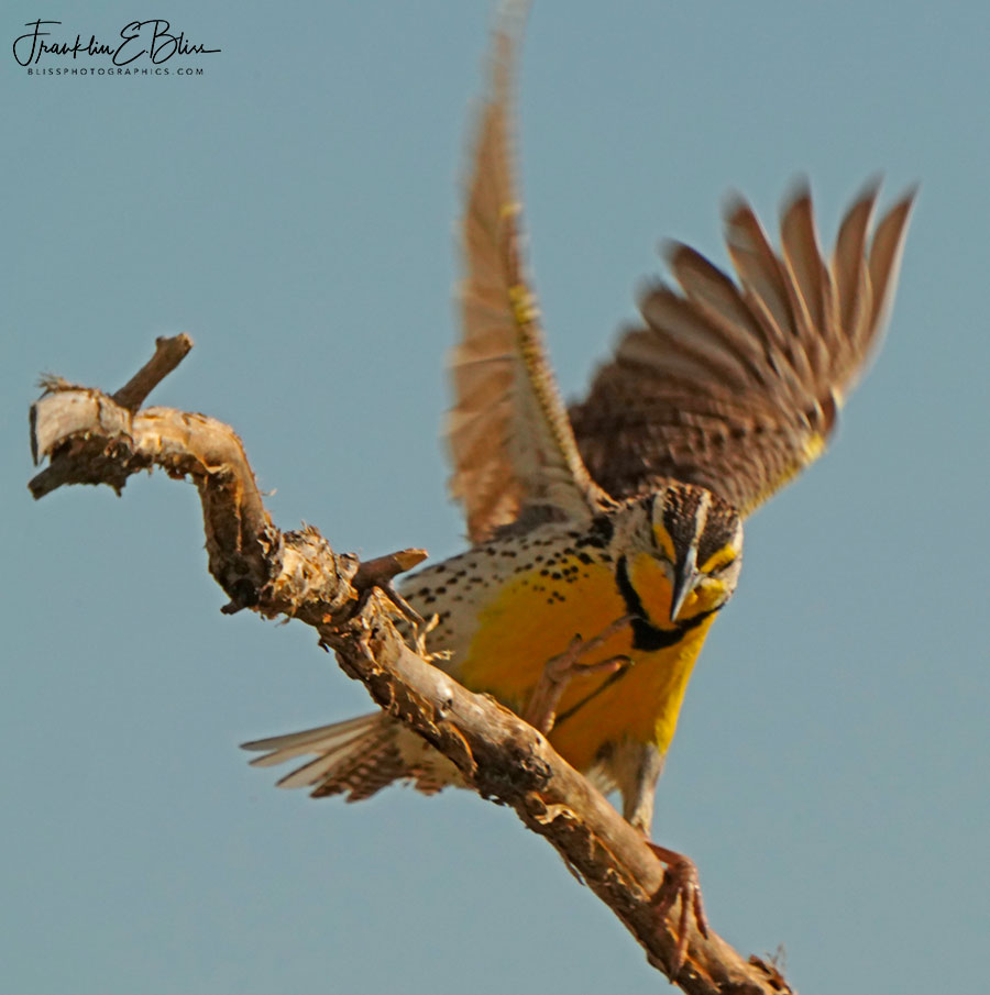 Meadowlark Touching Down