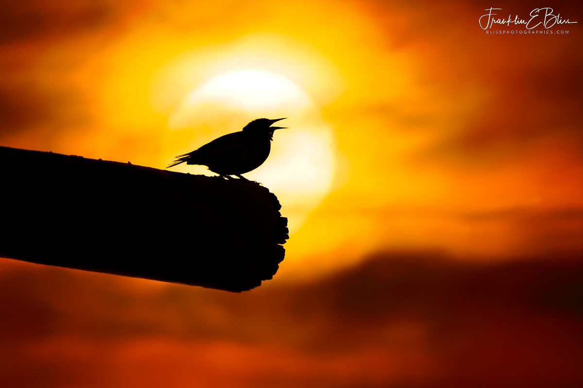 Meadowlark Singing Sunset Lullaby