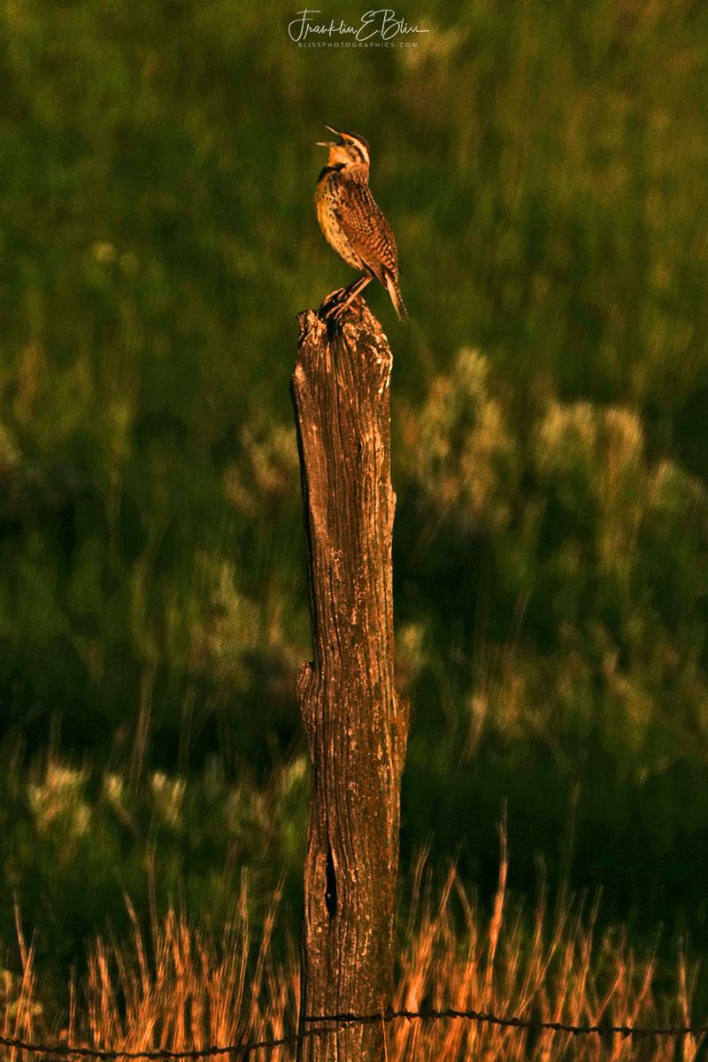 Posting a Meadowlark Singing