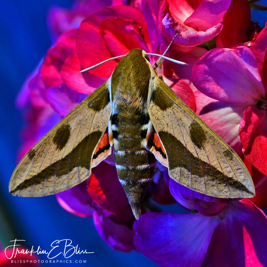 Spurge Hawk Moth Macro