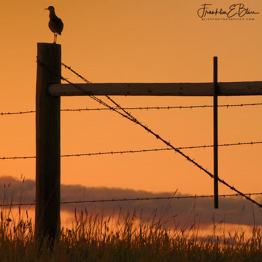 Upland Sandpiper Surveying Sunset