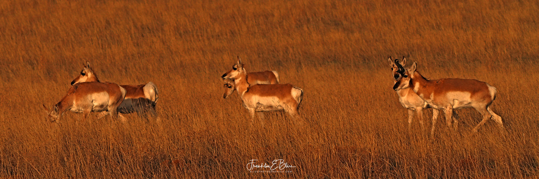 2X2 Pronghorn Parade Triptych