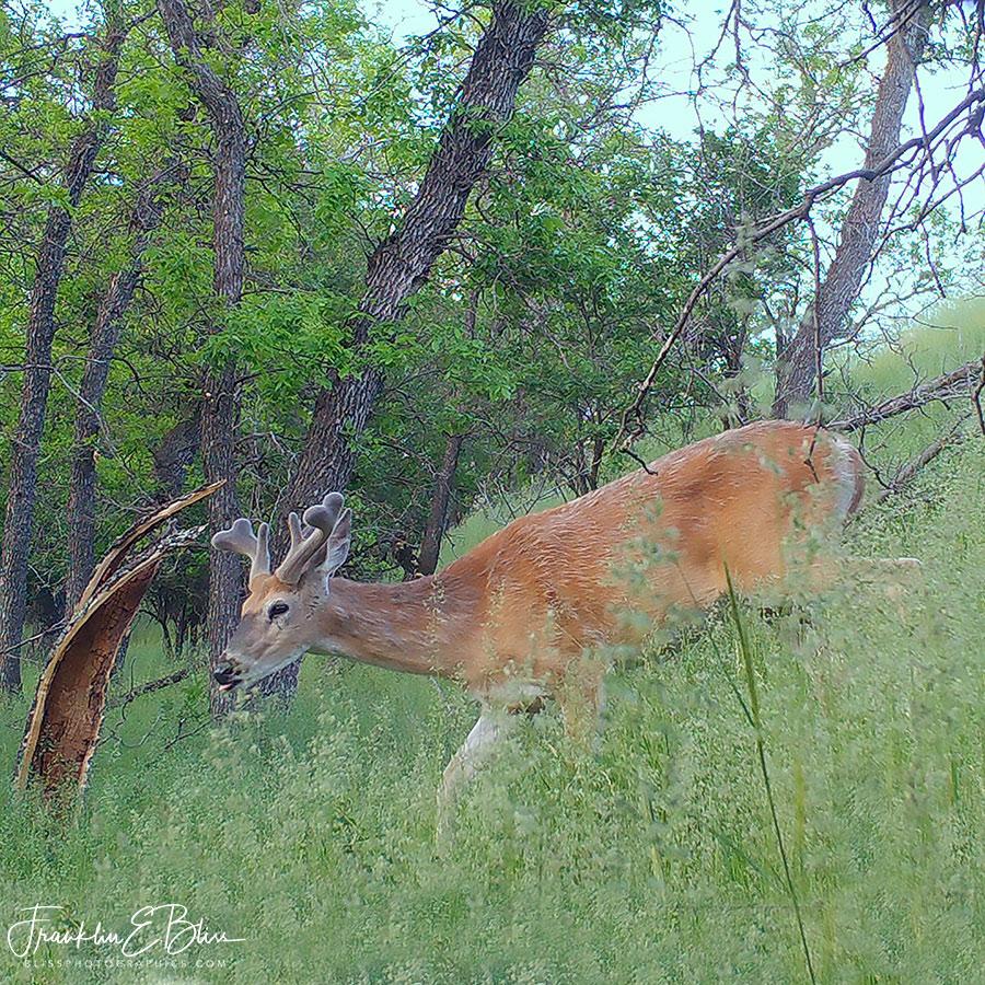 WhiteTail Buck Velvet Antlers
