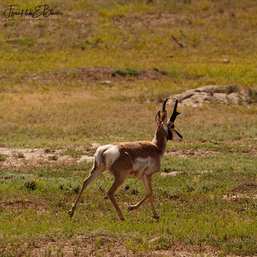 Pronghorn Big Buck Prancing
