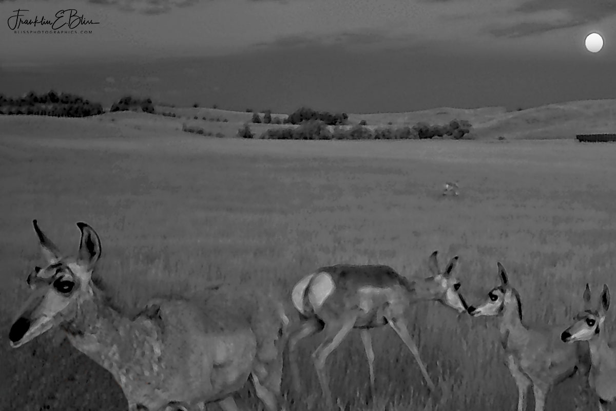 Pronghorn Family at Night