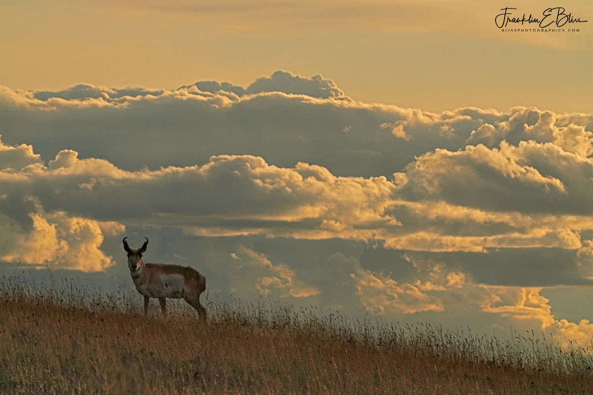 Pronghorn Cloudy Ridgeline