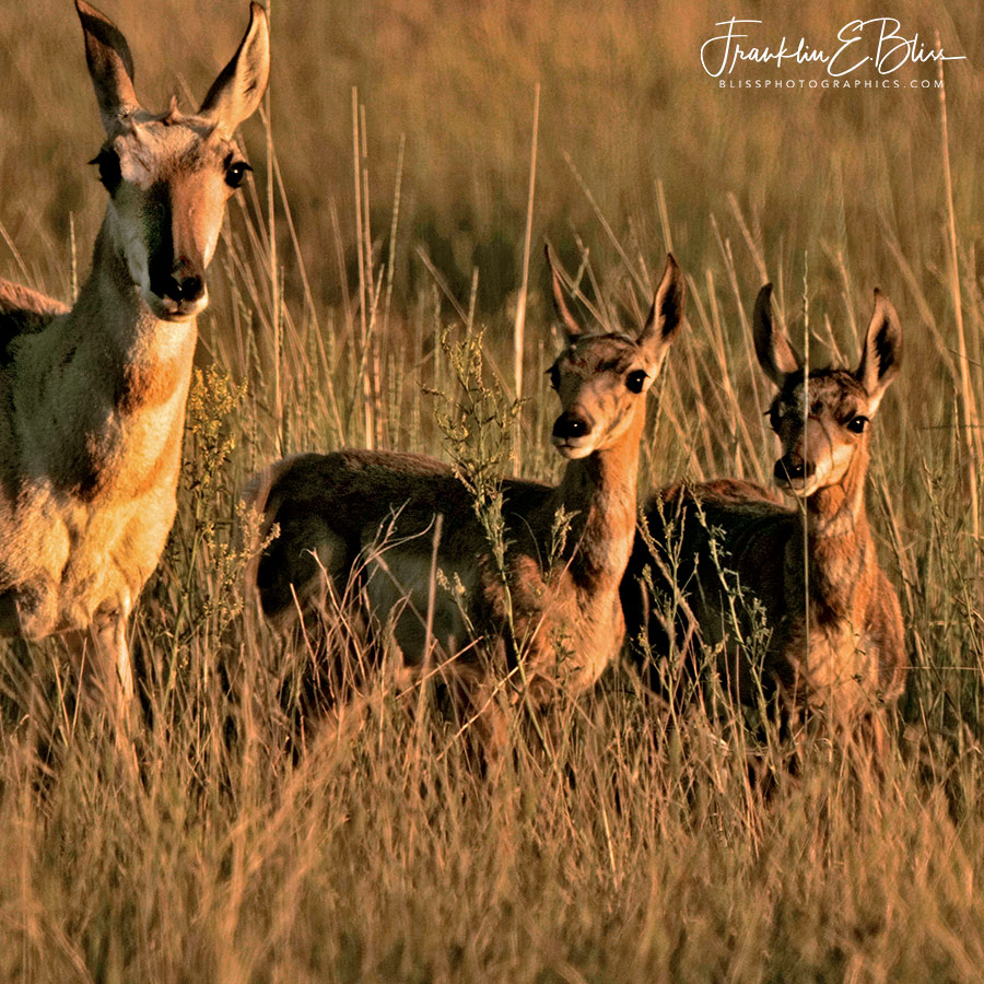 Pronghorn Mother With Twins