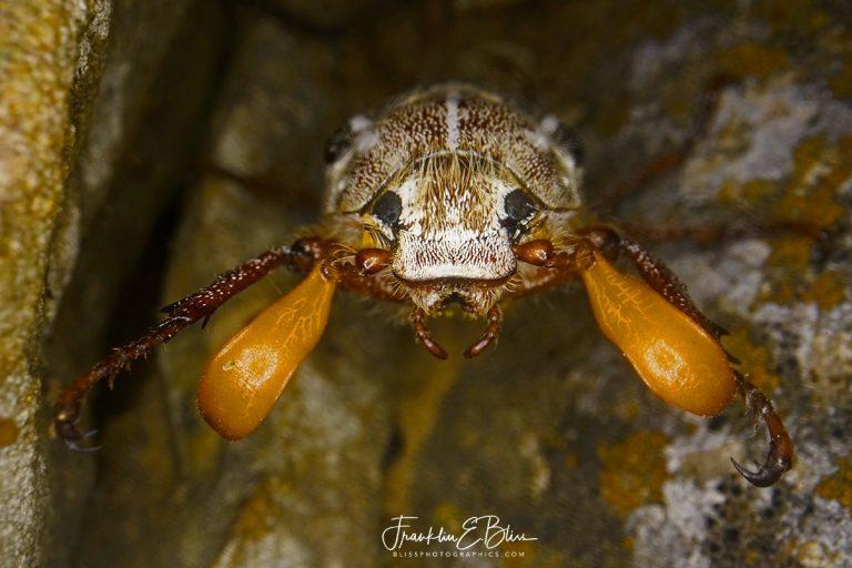 Macro June Beetle Frontal  071920H