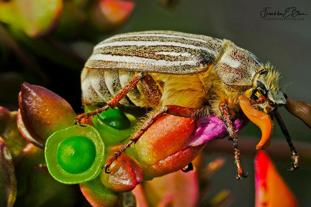 10 Line June Beetle