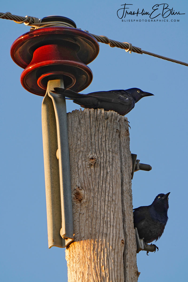 Two Blackbirds on a Pole