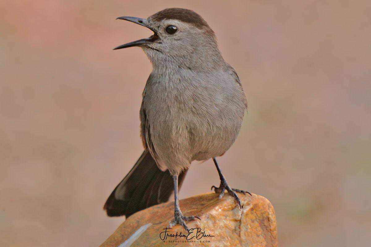 Catbird on a Montana Agate