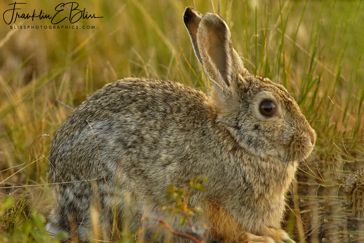 Bubba Cottontail Backcountry Bunny