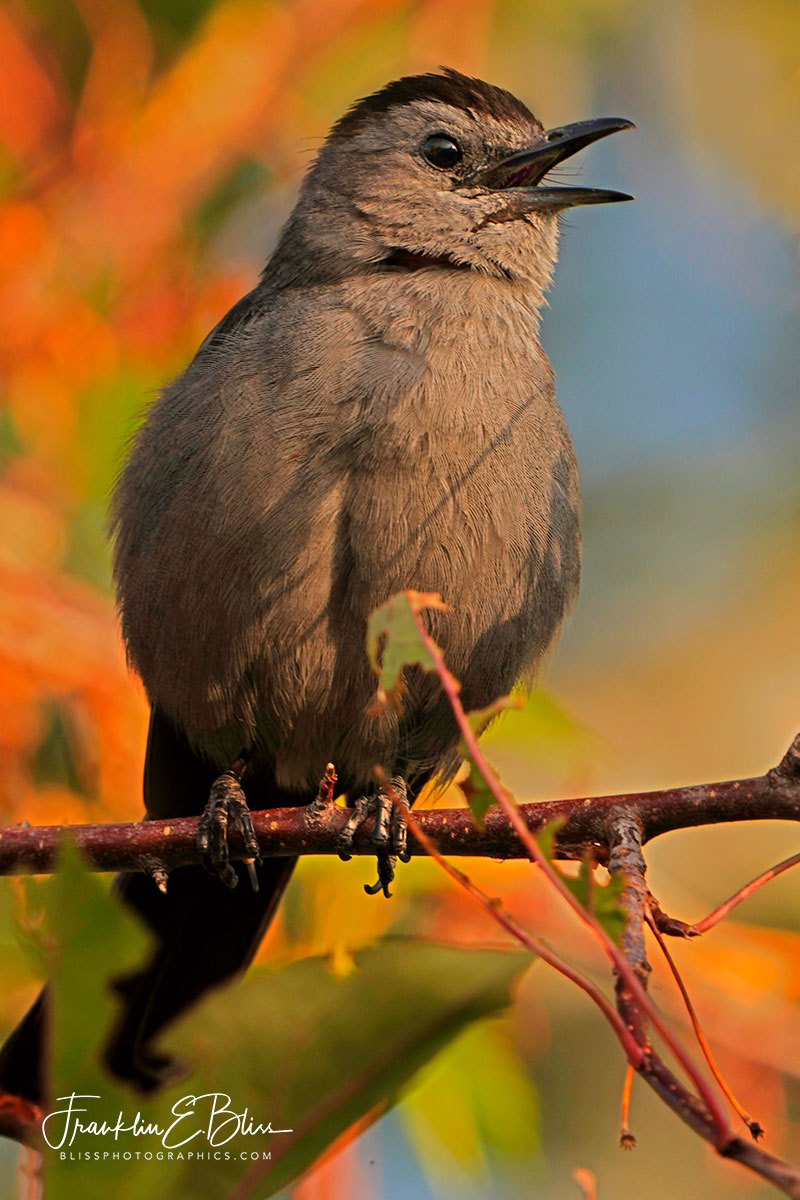 Catbird Up Close and Personal