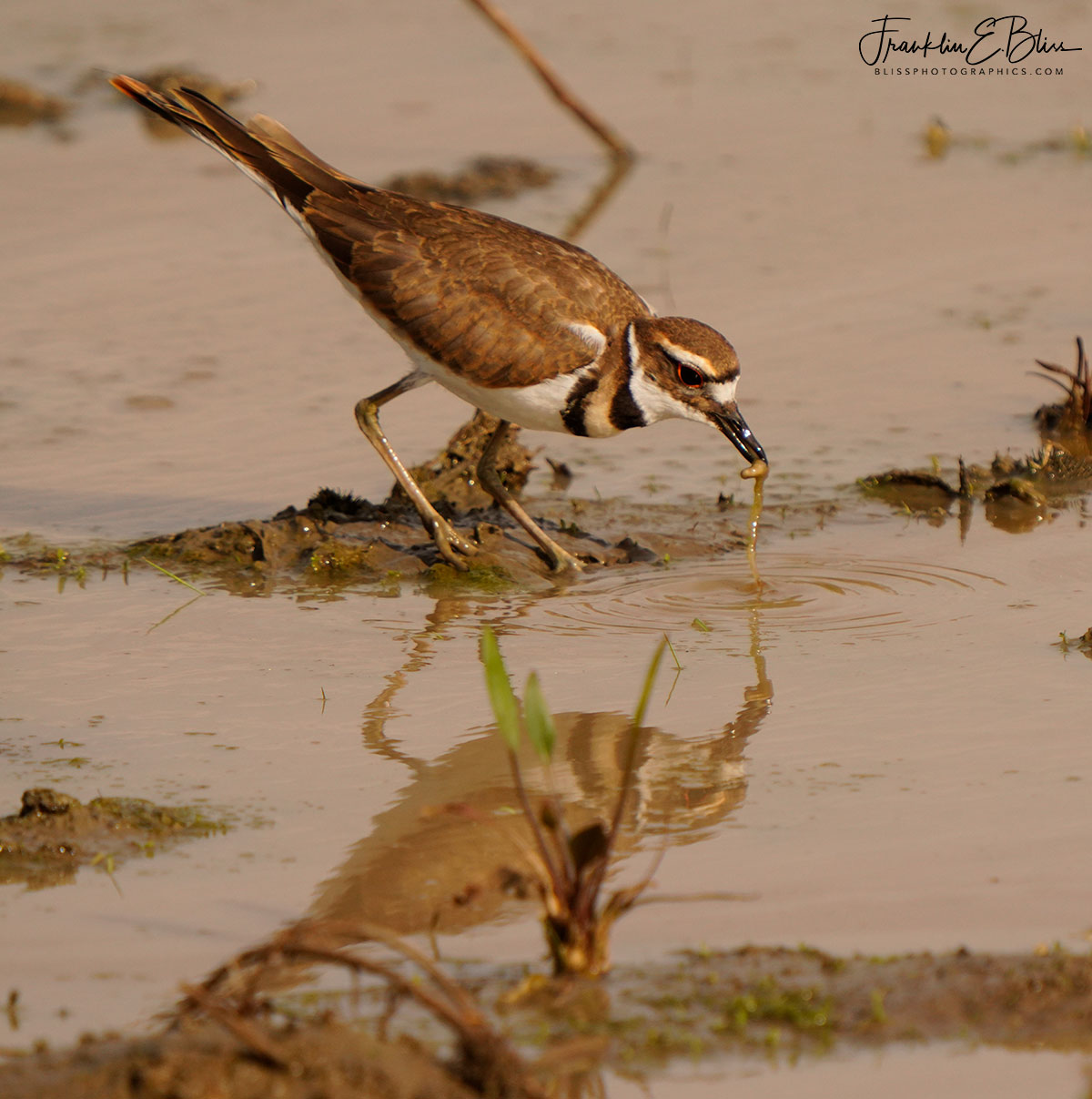 Reflections KillDeer Worm Hunting