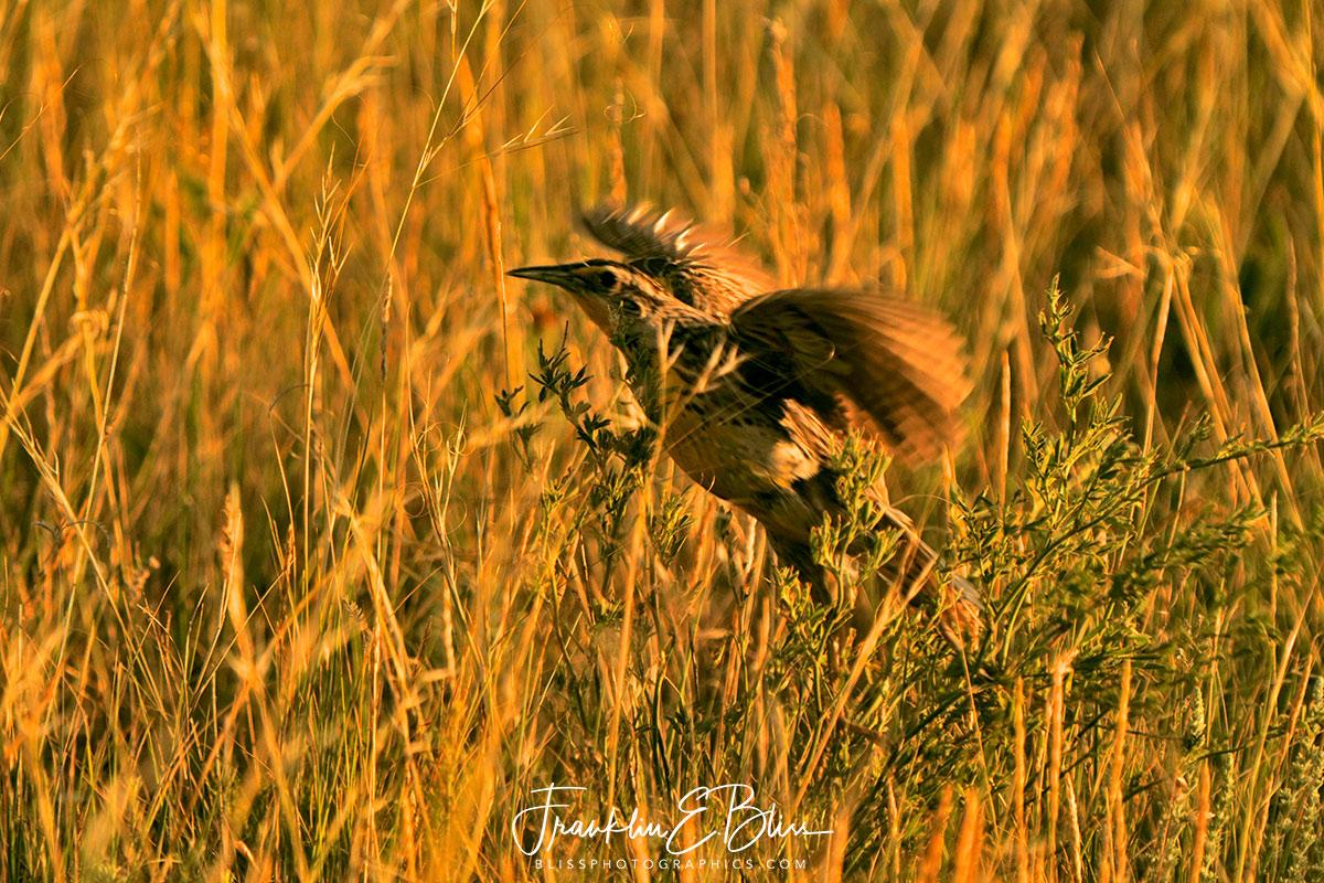 Meadowlark Grassy Takeoff