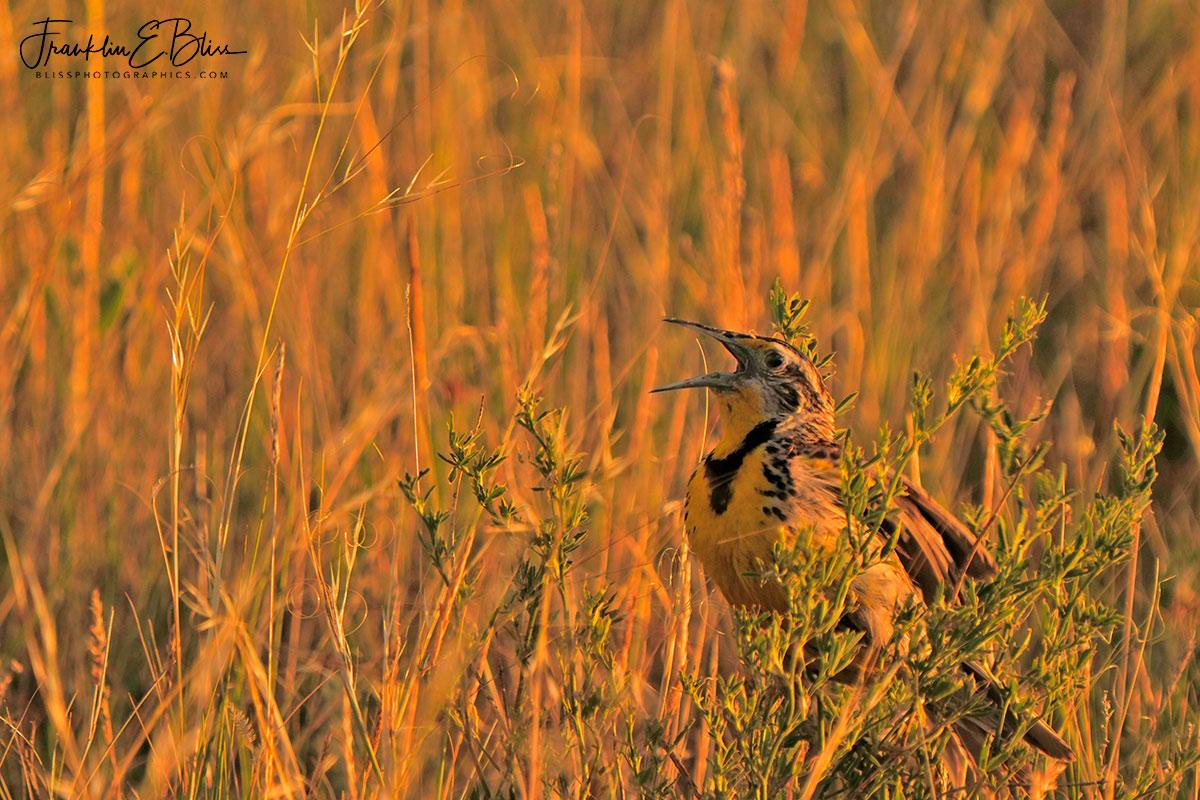 Meadowlark On Sage