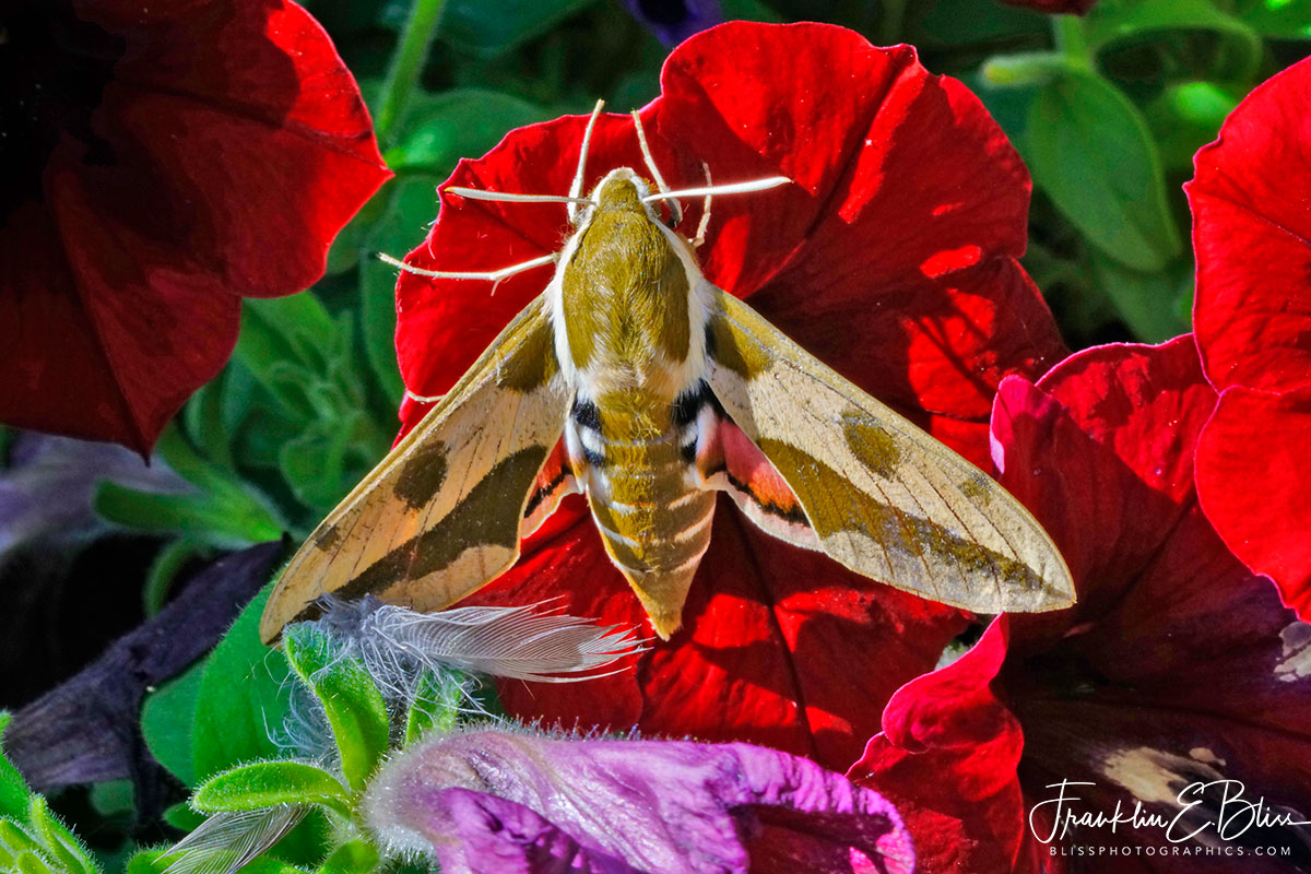 Spurge Hawk Moth Foraging