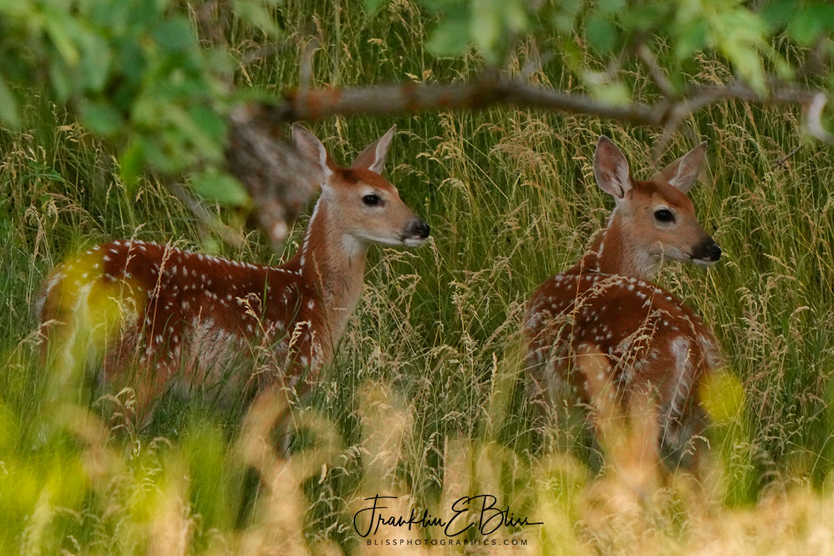 Twin Fawns in Deep Woods